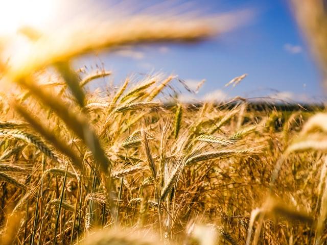 Skuteczna ochrona zbóż ozimych